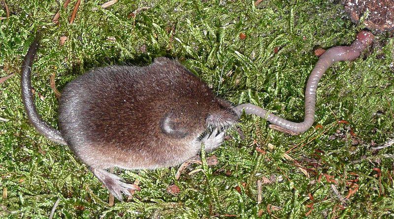 Photo of a common shrew. © Soricida, CCA-SA 3.0 Unported license