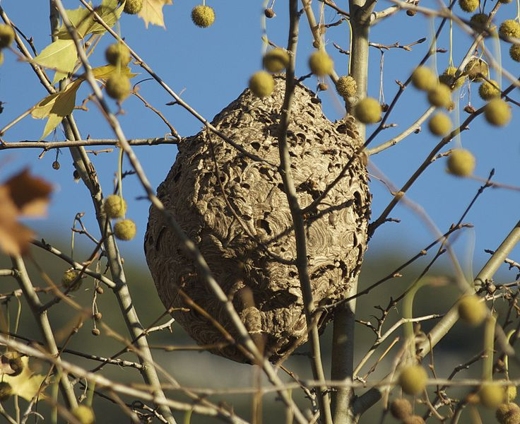 An Asian hornet nest. © Wikimedia Commons