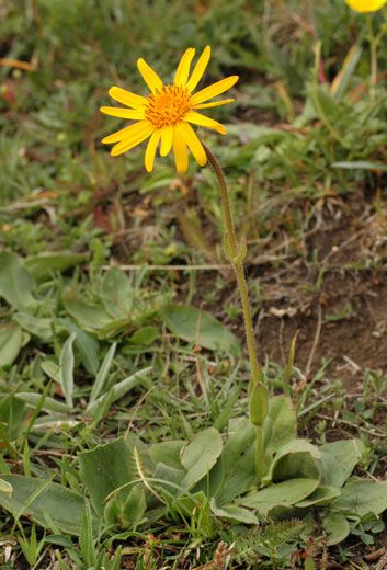Arnica, for the treatment of light contusions. © F. Le Driant / FloreAlpes.com