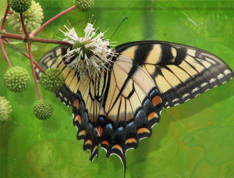 A swallowtail. © Wikipedia