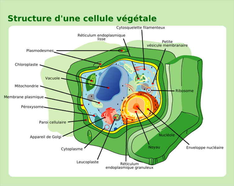 The vacuole is the largest organelle in the plant cell. © Mariana Ruiz Villarreal, Wikimedia, public domain