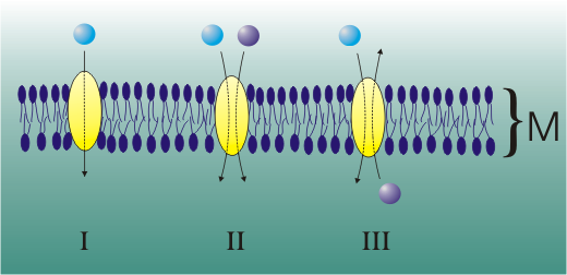 The various types of facilitated diffusion transporter proteins. M is a section through the cell membrane.  A uniport protein is shown in I. © Zoph, Wikimedia CC by-sa 3.0