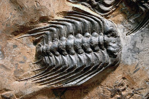 Arthropods, like this fossil trilobite, are triblastics. © kevinzim CC by-nc 2.0