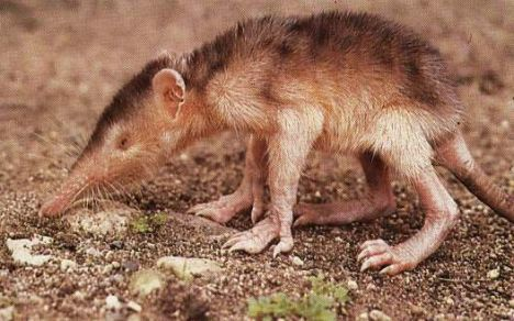 The solenodon, a venomous animal facing extinction. © DR