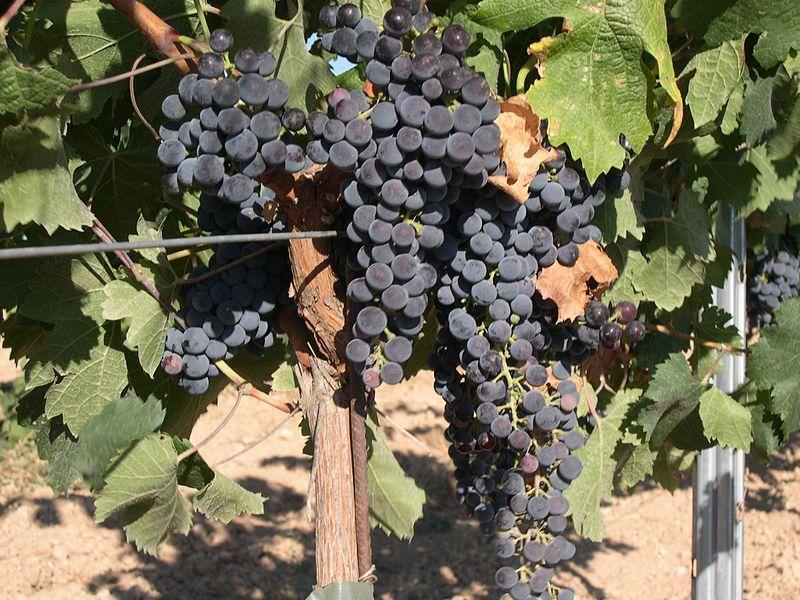 A bunch of Merlot grapes. © David Carrero Fernández-Baillo, Wikipedia CC by sa 3.0