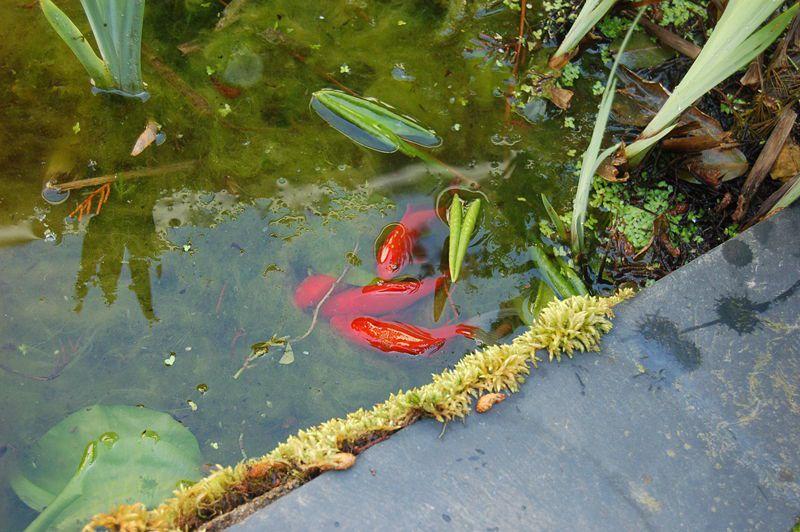 Goldfish spawn. © Perky, Wikimedia GFDL 1.2 CC by-sa 3.0