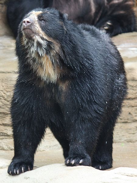 Photo of a spectacled bear © Ltshears, Creative Commons Attribution-Share Alike 3.0 Unported