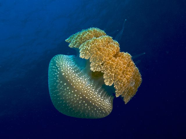 Jellyfish and plankton organisms are both pelagic life forms. © Nick Hobgood CC by-nc 2.0