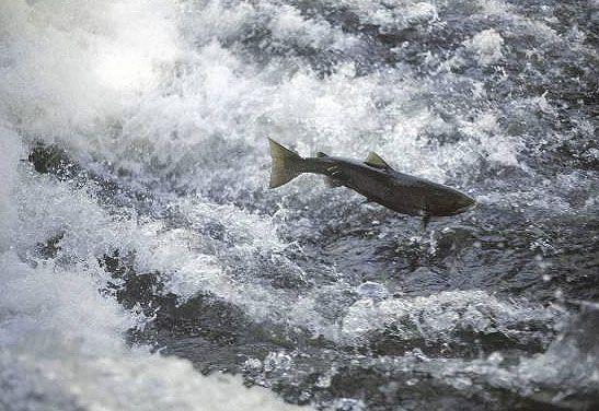 Atlantic salmon. © Henri Carmié / ONEMA