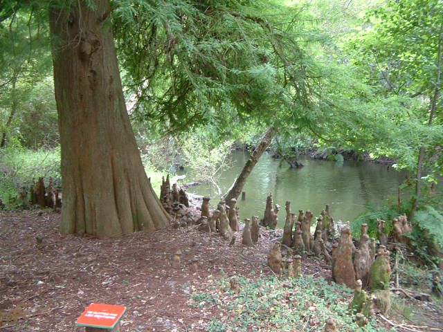 Bald cypress. © Mangatome GNU Free Documentation License version 1.2