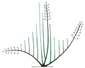 The twigs (in green) growing from the buds near the stump will grow more quickly than those growing further along the branch (brown). © Pascal Prieur/Raimbault et Chartier 1990