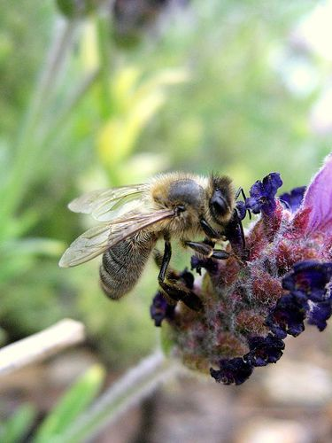 A bee sting can cause Quincke's edema. © BenoitD1981, Flikr, Creative Commons