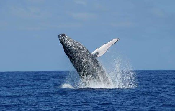 Humpback whale. © GLOBICE Réunion