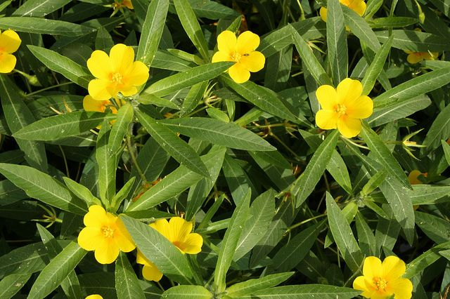 The water primrose is an invasive plant. © poil0do, Flickr CC by sa 2.0