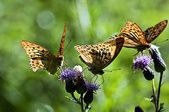 The pectinated antennae of butterflies © DR