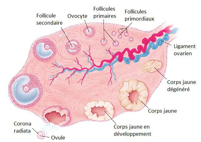 Ovulation takes place in the ovary. © DR