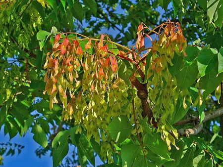 Ailanthus altissima, Simaroubaceae. © H. Zell GNU Free Documentation License version 1.2