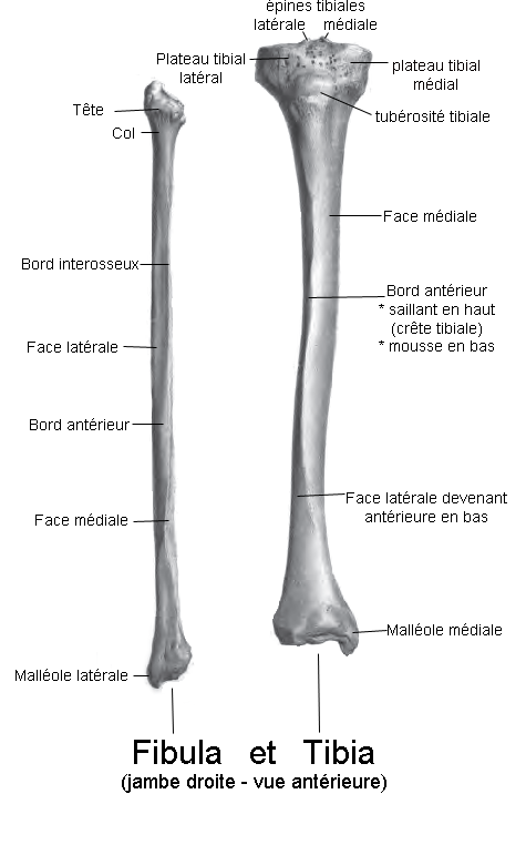 The tibia is a leg bone parallel to the fibula. © Berichard, Wikimedia, CC by-sa 3.0