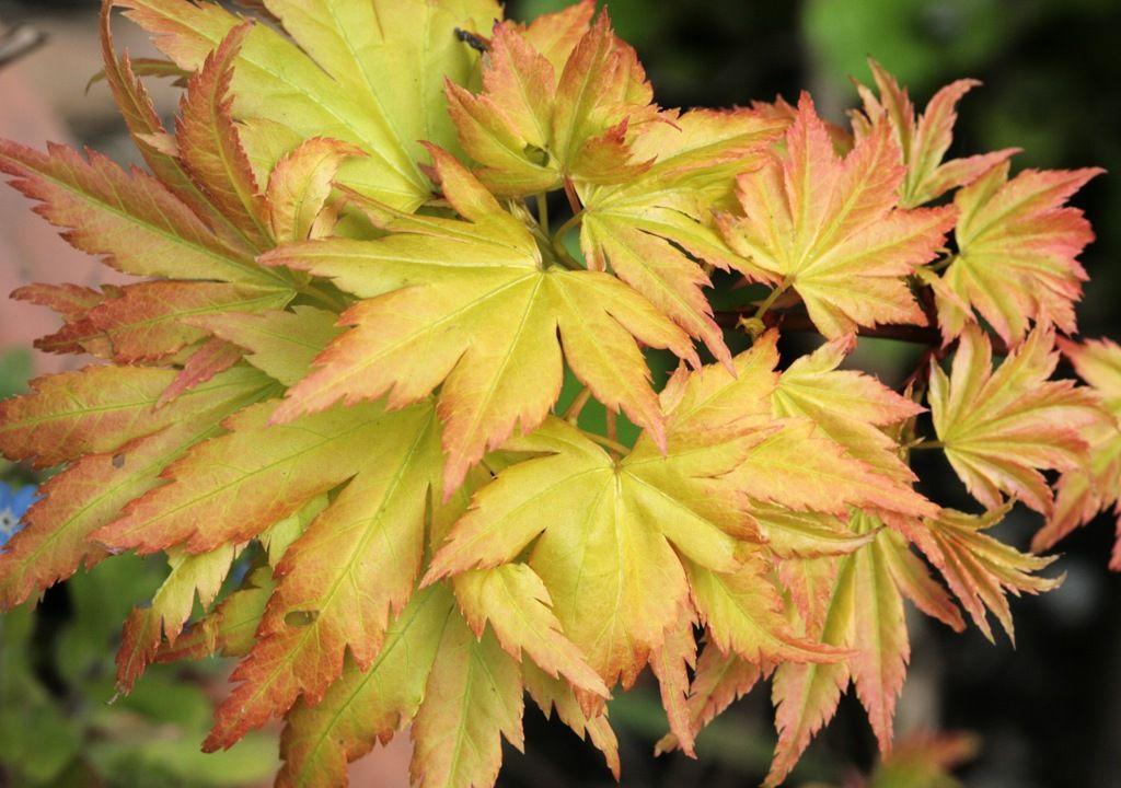 Acer palmatum. © suziesparkle, Flickr CC by nc-sa 2.0