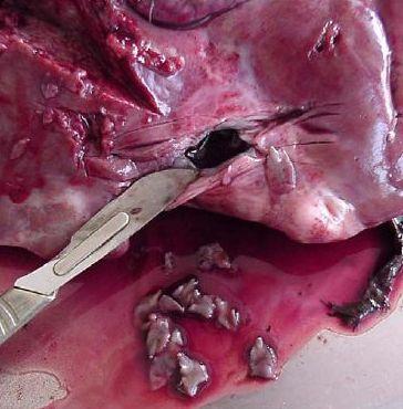Flukes implanted in a deer liver Source: AFFSA.