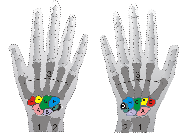 Skeleton of the right and left hands. 1-radius; 2-ulna; 3-metacarpal bones; A-scaphoid; B-lunate; C-triquetrum; D-pisiform; E-trapezium; F-trapezoid; G-capitate; H-hamate. © Zoph, Wikimedia, CC by-sa 3.0