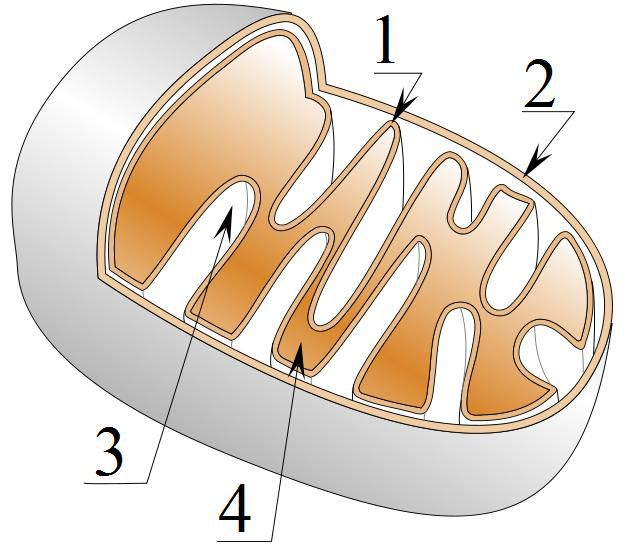 Diagrammatic representation of mitochondrial structure: 1: internal membrane; 2: external membrane; 3: intermembrane space; 4:matrix. © Tatoute, Wikimedia, CC by-sa 3.0