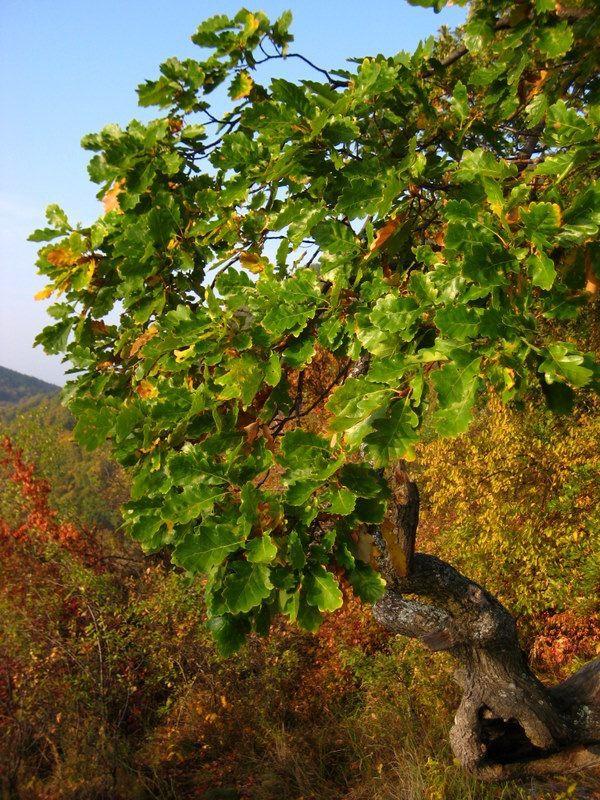 Quercus cerris. © kirandulo, Flickr CC by 2.0