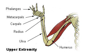 The humerus is a long bone. © DR