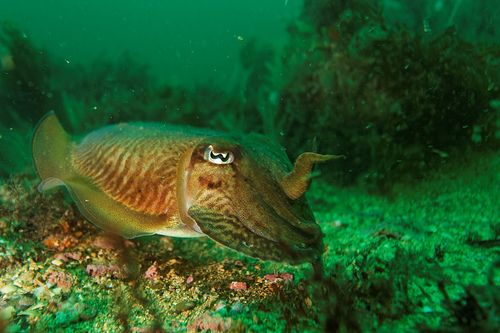 Cephalopods belong to the Mollusca phylum. Here, a cuttlefish. © danielguilp, Flickr, CC BY NC-SA 2.0