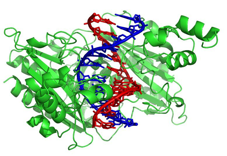 The restriction enzyme EcoRV (in green) cuts DNA through the two strands (red and blue). © Zephyris, Wikimedia, CC by-sa 3.0