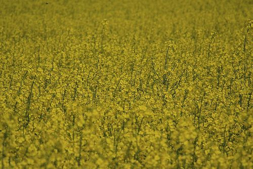 Rapeseed, a crop that can produce cooking oil or biofuel. Which one should we choose? © Mlle Bé CC by-nc-sa 2.0