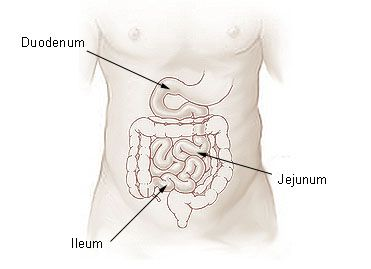 The jejunum is one of the three parts of the small intestine. © DR