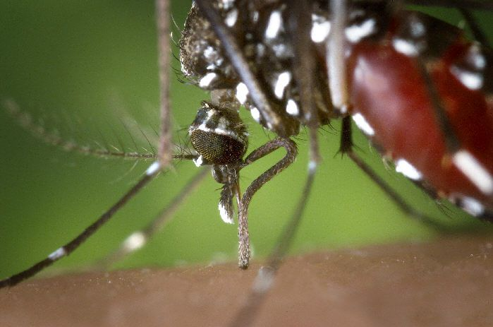 One of the vectors for the disease is the Aedes albopictus mosquito. © DR
