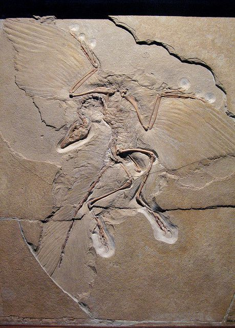 The archaeopteryx, once a candidate for the missing link between dinosaurs and birds.  © Paula Moya CC by-nc-nd 2.0
