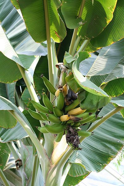 Bananas are climacteric: the presence of ripe fruit within the bunch accelerates the ripening of the other fruit. © Jean-Pol GRANDMONT, Wikimédia CC by-sa 2.5