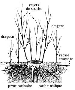 After felling, the stump of a tree will produce suckers, whereas basal shoots will grow from the horizontal roots, called creepers. © Pierre Le Den, ENSP, (MR & SD)