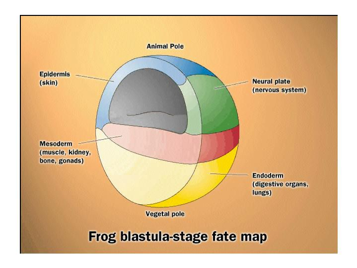 During gastrulation (here, a frog gastrula), a massive reorganisation of cells creates the first two layers, the ectoderm and the endoderm. The former will turn into the skin and the nervous system, and the latter the digestive system and lungs. A third layer, the mesoderm, appears which will become the internal organs. The embryo loses its spherical symmetry. © Life: The Science of Biology, Purves et al., 1998
