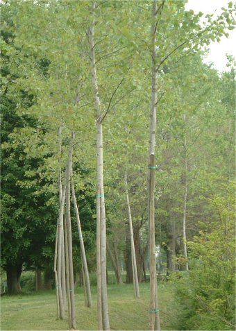 Alignment of grey poplars. © comprensivosaonara.it