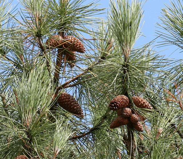 The maritime pine. © Silversyrpher, Flickr by 2.0