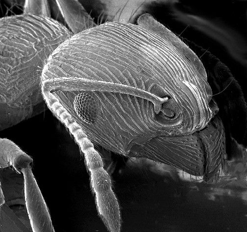 The scanning electron microscope provides relief images of the objects viewed (here the head of an ant). © DR