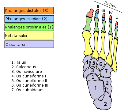 There are five metatarsal bones (in yellow) © VonTasha, Wikimedia, CC by-sa 3.0