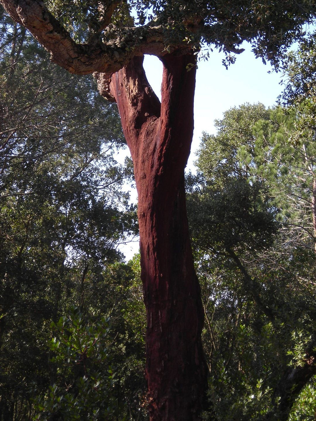 Cork oak trunk. © treesoftheworld.net, CC by 3.0