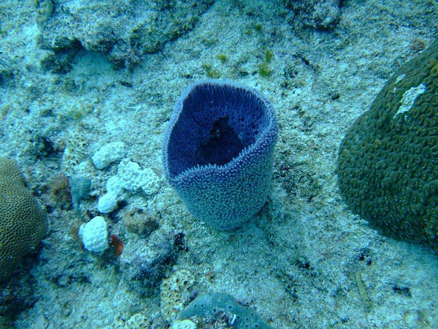 Sponges (sea sponges) have only two embryonic layers: they are diploblastic organisms. © François Ribiere CC by-nc-sa 3.0