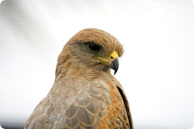The Savanna hawk (Buteogallus meridionalis) is a diurnal bird of prey. © Prosper973 CC by-nc-nd 2.0