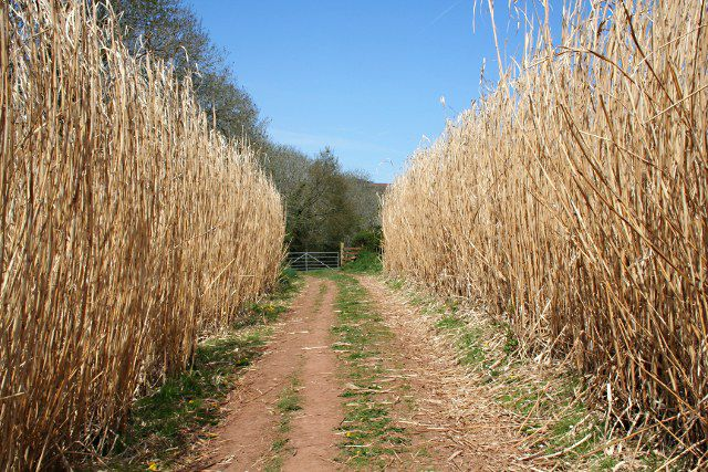 When will miscanthus be used in engines? © Tony Atkin, Geograph CC by-sa 2.0