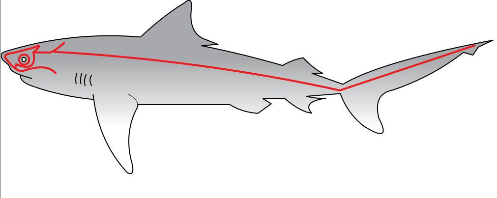 In sharks the lateral line comes from placodes. © Chris Huh, public domain