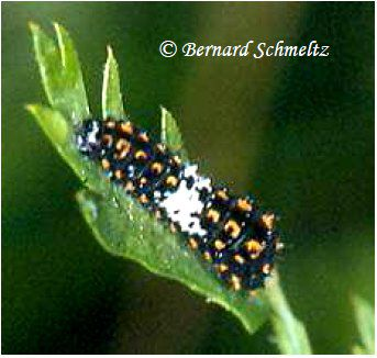 The caterpillar, a defoliator. © Bernard Schemltz