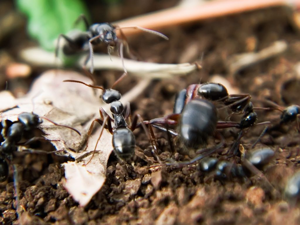 Trophallaxis is seen in ants.  © luc en diois, CC by nc sa 2.0