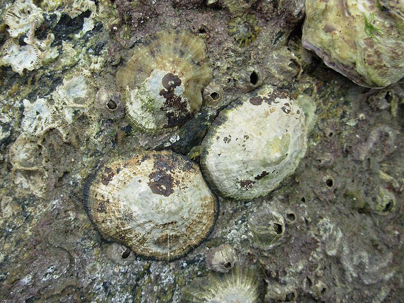 The shape of the limpet shell varies depending on the hydrodynamic nature of the environment. This is known as accommodation. © Auguste Le Roux, Wikimedia CC by 3.0