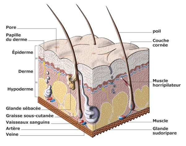 The most superficial layer of the epidermis is formed from keratinocytes. © invision.me.free.fr